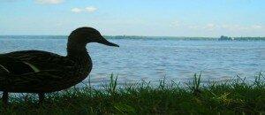 Duck silhouette in Knowlton
