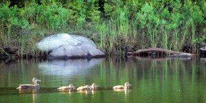 Ducks on Brome Lake